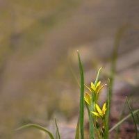 Самая маленькая лилия на планете :: Olenka