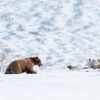 Мишка на снегу :: Денис Будьков