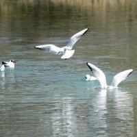 Чайки в полете :: Татьяна Иванова