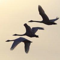 Лебеди. :: владимир