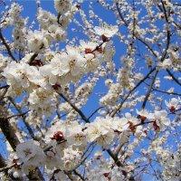 Цветущая весна :: Геннадий Худолеев