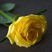 Желтая роза :: Лидия Суюрова