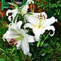 Белые красотки :: Лариса