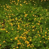 Полянка ранункулюсов (садовые лютики) :: Светлана
