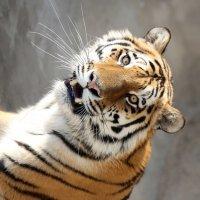тигр :: Михаил Бибичков