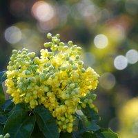 Цветы магонии. :: Наташа С