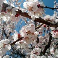 Цветы абрикоса. :: Анфиса