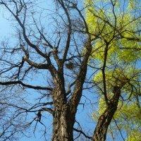 Деревья весной. :: Анфиса