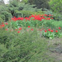 И снова тюльпаны... :: Нина Акарцева