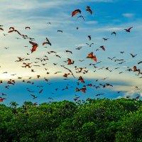 Стая летучих лисиц над мангровыми зарослями неподалеку от острова Комодо (Индонезия) :: Павел Сытилин