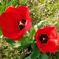 Тюльпаны :: Regina Nigrae