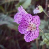 Сказочный цветок :: Виктория Власова