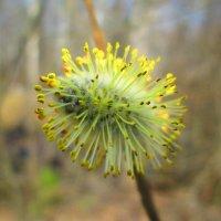 Верба (цветок) :: Антон Завьялов