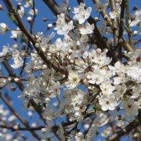 Цветут сады, и как волшебной пеной  укрылись все деревья и кусты... :: Татьяна Смоляниченко