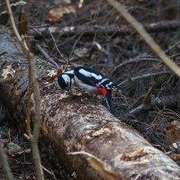Дятел в лесу. :: Александр Романов