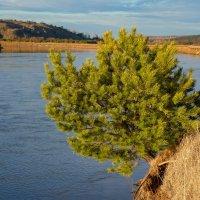 Одинокая сосна на берегу реки :: Алексей Сметкин