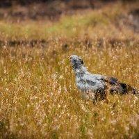 Птица-секретарь (Sagittarius serpentarius)... Кения! :: Александр Вивчарик