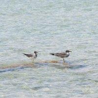 египетские чайки :: Елена Шаламова