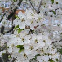 Весны цветение :: Maryana Petrova
