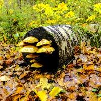 грибы растут где им хочется :: Георгий А