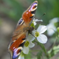 бабочка :: лиана алексеева