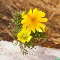 Про весенний горицвет... :: Андрей Заломленков