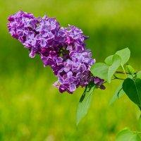 Сирень цветёт :: N93RUS