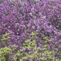 Рододендрон в Аптекарском огороде :: marmorozov Морозова