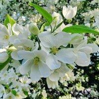 Белый цвет,яблони цвет :: Liliya Kharlamova