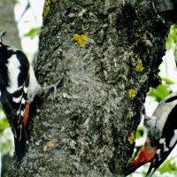 Сири́йский дя́тел (лат. Dendrocopos syriacus) — птица семейства дятловых. :: vodonos241