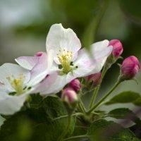 Яблони в цвету... :: Татьяна Евдокимова