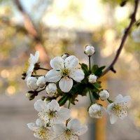 Весны цветенье... :: Александр