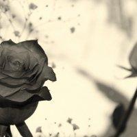 Розы :: Елена Минина
