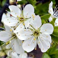 цветок сливы :: Людмила