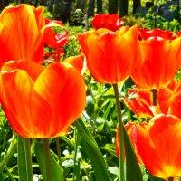 тюльпаны :: Наталья (ShadeNataly) Мельник