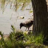 ворона в парке на озере Летнем в Калининграде :: Юрий Шамсутдинов