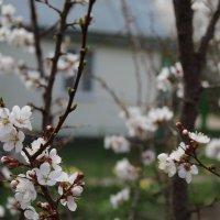 Груша цветет :: Татьяна Са
