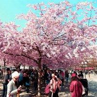 Цветущая сакура в Стокгольме. :: Natali