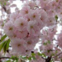 Розовая нежность. :: Люба
