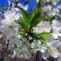 Цветет вишня... :: Сергей Iv
