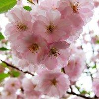 Сакура в каплях дождя. :: Люба