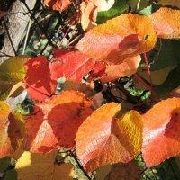 Виноград в октябре :: Дмитрий Никитин