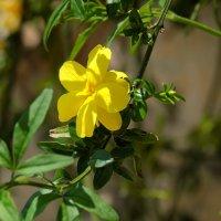 Жасмин,, а то растение что люди зовут жасмин оно называется чубушник :: Александр Деревяшкин