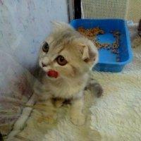 Котята продаются! :: Елизавета Успенская