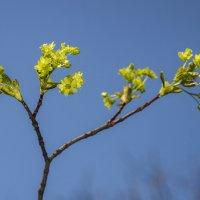 цветки клёна обыкновенного... :: Наталья Меркулова