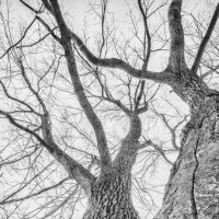 White tree :: Антон Богданов