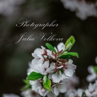 Вишня :: Julia Volkova