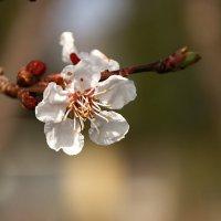 """Удивительный цветочек-""""Абрикоса"""". :: Mila ."""