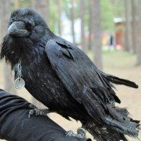 черный ворон :: ольга хакимова