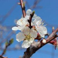 Яблоня в цвету :: Колибри М
